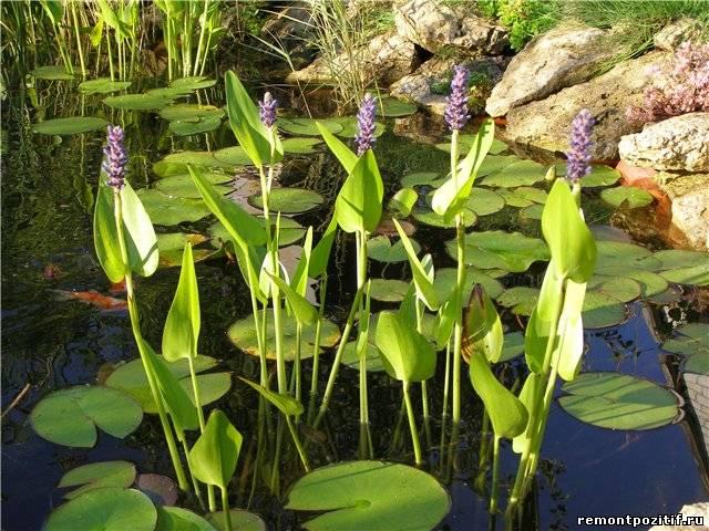 Водные растения для пруда виды выбор