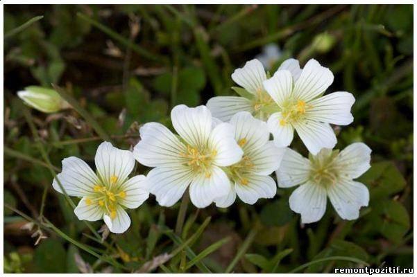 болотный цветок лимнантес