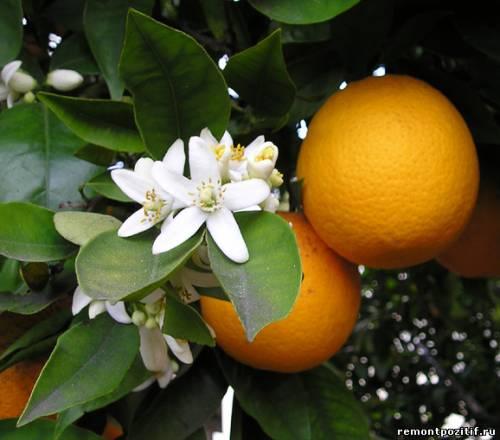 апельсины в оранжерее