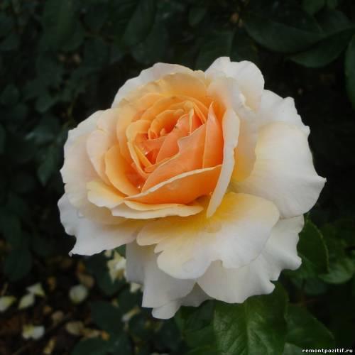 Роза чайно-гибридная Сью Хипкин (Sue Hipkin)