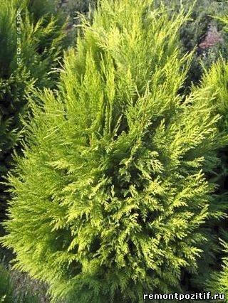 хвойные растения на участке