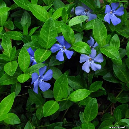 вечнозеленый почвокровный барвинок