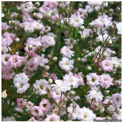 гипсофила с розовыми цветами