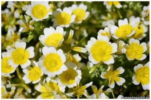 лимнантес – цветок глазунья