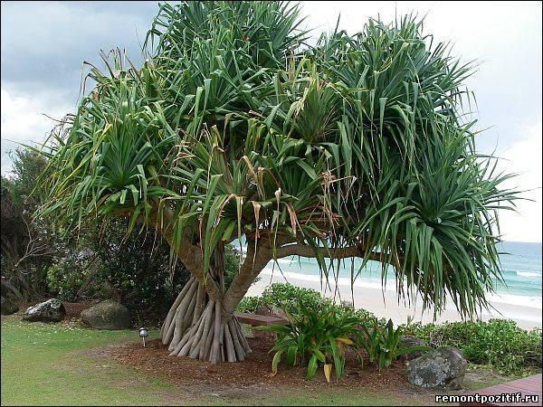 тропическое растение пандан