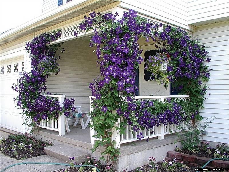 Вьющиеся цветы для балкона солнечная сторона.