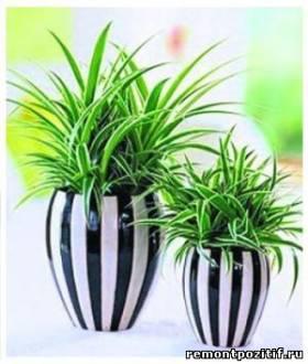 Хлорофитум – универсальное растение