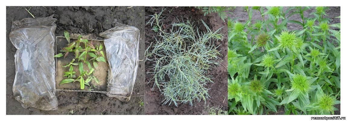 Гвоздика турецкая выращивание из семян рассадой 74
